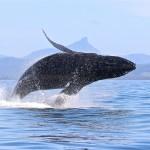 Blue Bay Whale Watching Byron Bay - Breach